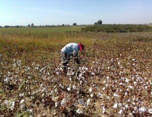 Rebranding Uzbek cotton: An opportunity for lasting reform